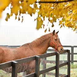 equine 250